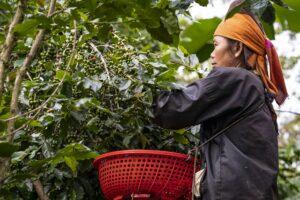 Cà phê Sơn La – kết tinh của thiên nhiên và tâm huyết người gieo trồng